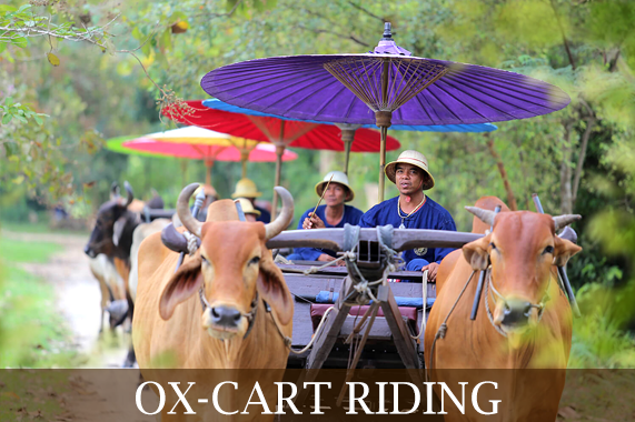 ox-cart-riding